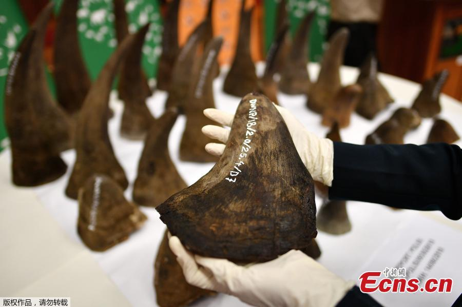 A Malaysian Wildlife official displays seized rhino horns and other animal parts at the Department of Wildlife and National Parks headquarters in Kuala Lumpur on August 20, 2018. Malaysia has made a record seizure of 50 rhino horns worth an estimated 12 million US dollars as they were being flown to Vietnam, authorities said on August 20.  (Photo/Agencies)
