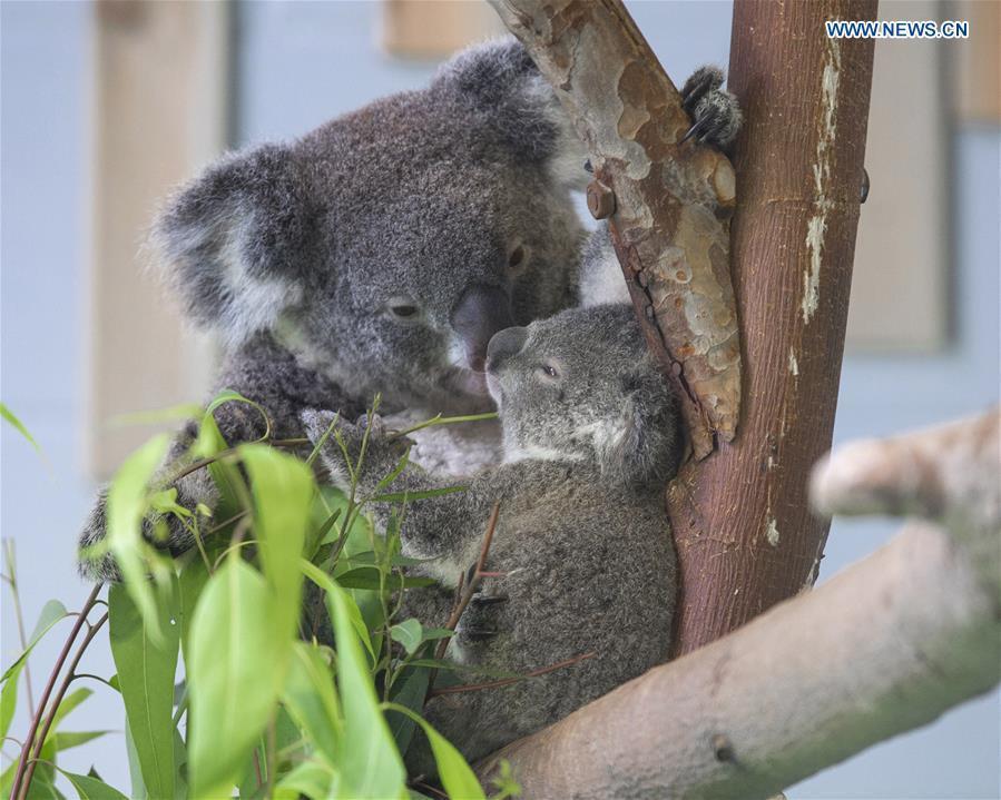 Photo taken on Aug. 20, 2018 shows the baby koala and its parent at Nanjing Hongshan Forest Zoo in Nanjing, east China\'s Jiangsu Province. A baby koala born in Nanjing Hongshan Forest Zoo in east China\'s Jiangsu Province made its first public appearance on Monday. (Xinhua/Su Yang)