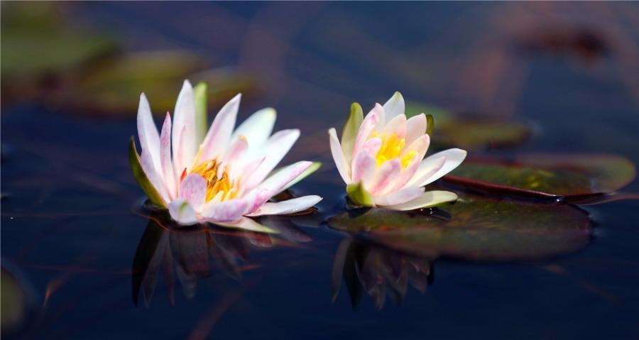 More than 300 varieties of water lilies from around the world are being shown at the Shanghai Chenshan Botanical Garden. (Photo/China Daily)