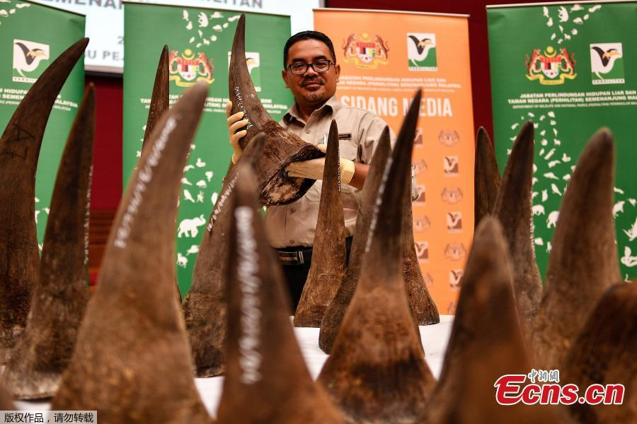 Malaysian Wildlife Enforcement division Director Salman Bin Haji Saaban displays seized rhino horns and other animal parts at the Department of Wildlife and National Parks headquarters in Kuala Lumpur on August 20, 2018. Malaysia has made a record seizure of 50 rhino horns worth an estimated 12 million US dollars as they were being flown to Vietnam, authorities said on August 20. (Photo/Agencies)