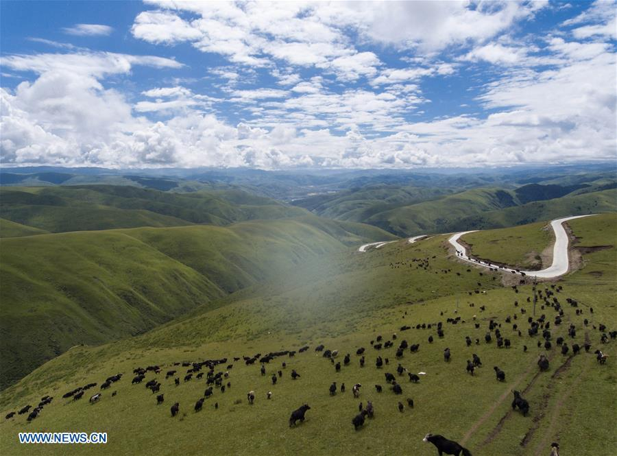 Aerial photo taken on Aug. 20, 2018 shows cattle grazing near Shangnan highway in Rangtang County, southwest China\'s Sichuan Province. At an altitude of over 3,000 meters, the nearly-40-kilometer Shangnan highway is a major road in the county which served a key role in shaking off poverty for local Tibetan herdsmen. (Xinhua/Jiang Hongjing)