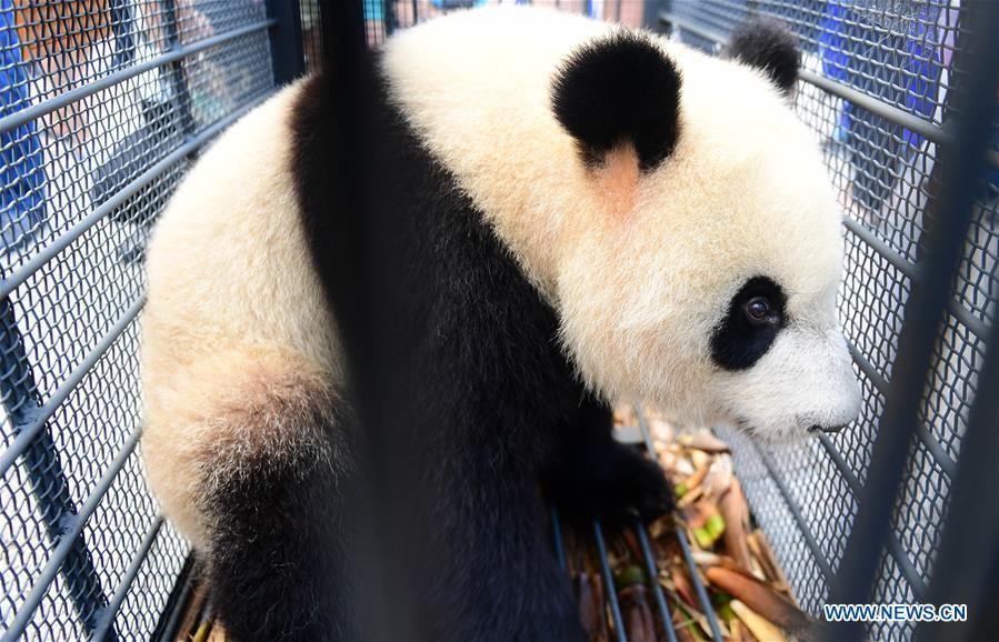 Giant panda Chu Xin waits for health check in Changchun, capital of northeast China\'s Jilin Province, Aug. 21, 2018. Chu Xin and Mu Yun, two 2-year-old female giant pandas, on Tuesday left the Dujiangyan base of China Conservation and Research Center for Giant Panda in Sichuan and arrived at the panda enclosure of the Siberian Tiger Park in Changchun. The pandas will meet the public on Aug. 24. (Xinhua/Lin Hong)