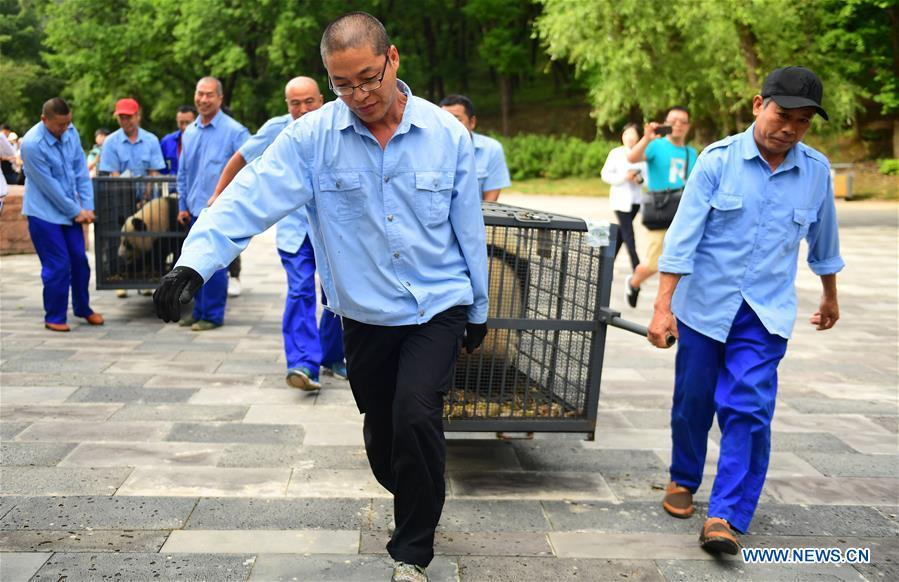 Staff members carry giant pandas Chu Xin and Mu Yun with cages for quarantine in Changchun, capital of northeast China\'s Jilin Province, Aug. 21, 2018. Chu Xin and Mu Yun, two 2-year-old female giant pandas, on Tuesday left the Dujiangyan base of China Conservation and Research Center for Giant Panda in Sichuan and arrived at the panda enclosure of the Siberian Tiger Park in Changchun. The pandas will meet the public on Aug. 24. (Xinhua/Lin Hong)