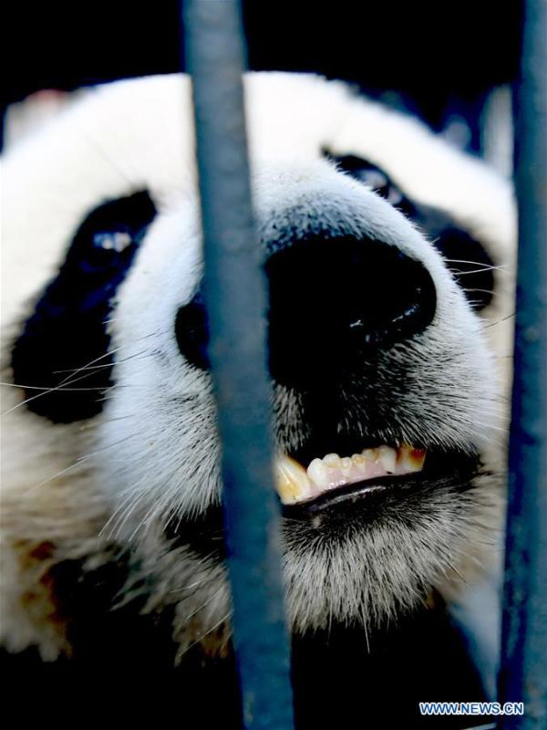 Photo taken on Aug. 21, 2018 shows giant panda Chu Xin in Changchun, capital of northeast China\'s Jilin Province. Chu Xin and Mu Yun, two 2-year-old female giant pandas, on Tuesday left the Dujiangyan base of China Conservation and Research Center for Giant Panda in Sichuan and arrived at the panda enclosure of the Siberian Tiger Park in Changchun. The pandas will meet the public on Aug. 24. (Xinhua/Lin Hong)