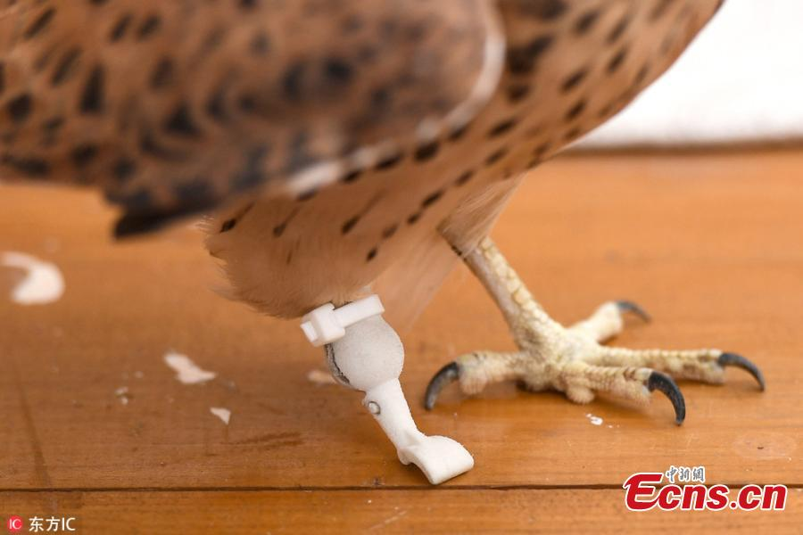 An amputee kestrel named Grom with a prosthetic foot developed by the Optiplane design bureau Aug. 21, 2018. (Photo/IC)