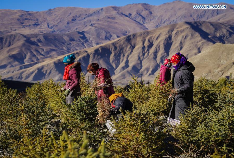 Villagers work at a plantation in Naidong District of Shannan, southwest China\'s Tibet Autonomous Region, Dec. 11, 2017. Over the past four decades, the Shannan people have made achievements in desert control by building a 1.8-kilometer-wide \