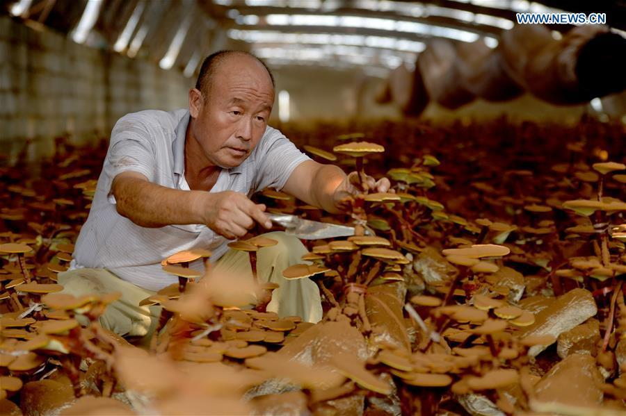 A villager trims lingzhi mushrooms at a greenhouse in Shuimotou Village of Chanfang Township in Shahe, north China\'s Hebei Province, Aug. 22, 2018. Shuimotou village has developed a mechanism for lingzhi mushroom cultivation, joining planting bases, cooperatives and farmers together, to promote the industry as a way of increasing local farmers\' income. More than 100 villagers realized an increase of more than 5,000 yuan (733 U.S.dollars) on annual per capita income. (Xinhua/Mu Yu)