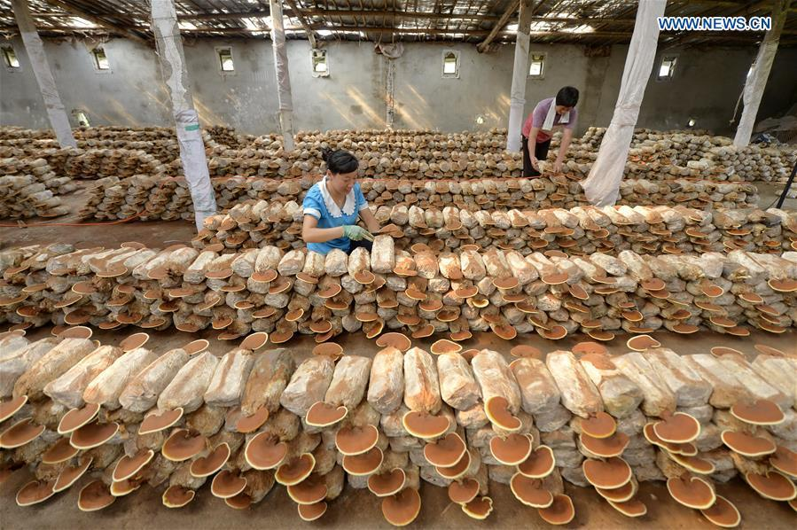 A villager takes care of lingzhi mushrooms at a greenhouse in Shuimotou Village of Chanfang Township in Shahe, north China\'s Hebei Province, Aug. 22, 2018. Shuimotou village has developed a mechanism for lingzhi mushroom cultivation, joining planting bases, cooperatives and farmers together, to promote the industry as a way of increasing local farmers\' income. More than 100 villagers realized an increase of more than 5,000 yuan (733 U.S.dollars) on annual per capita income. (Xinhua/Mu Yu)