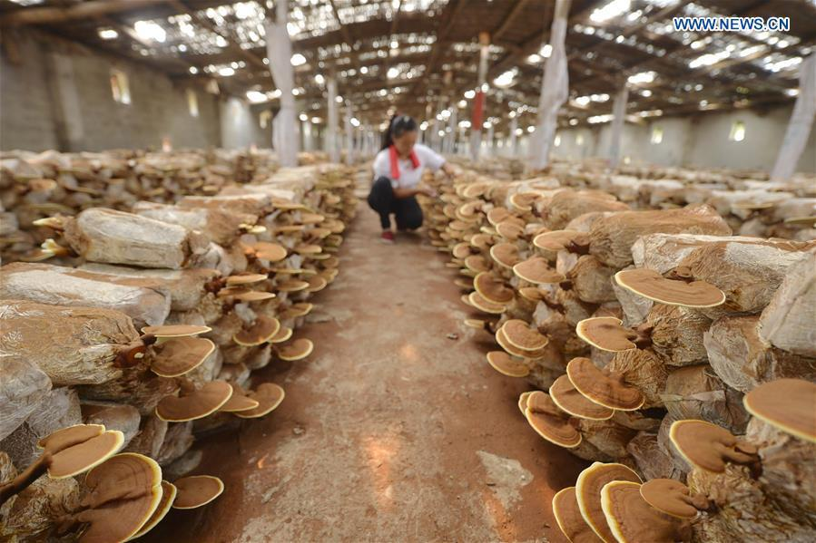 Villagers take care of lingzhi mushrooms at a greenhouse in Shuimotou Village of Chanfang Township in Shahe, north China\'s Hebei Province, Aug. 22, 2018. Shuimotou village has developed a mechanism for lingzhi mushroom cultivation, joining planting bases, cooperatives and farmers together, to promote the industry as a way of increasing local farmers\' income. More than 100 villagers realized an increase of more than 5,000 yuan (733 U.S.dollars) on annual per capita income. (Xinhua/Mu Yu)