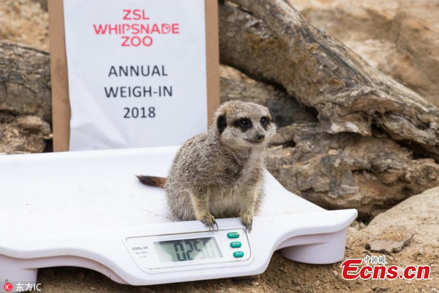 Photo taken on Aug. 21, 2018 shows a huge-scale operation taking place at ZSL Whipsnade Zoo, as keepers coaxed thousands of animals, including parrots, meerkats, turtles and rhinoceroses, to step onto the scales for their annual weigh-in. As part of their regular check-ups, all creatures great and small, from gargantuan rhinos to feather-light butterflies, have had their vital statistics recorded as a way of keeping track of the health and wellbeing of the 3500 animals at the UK's largest Zoo. (Photo/IC)