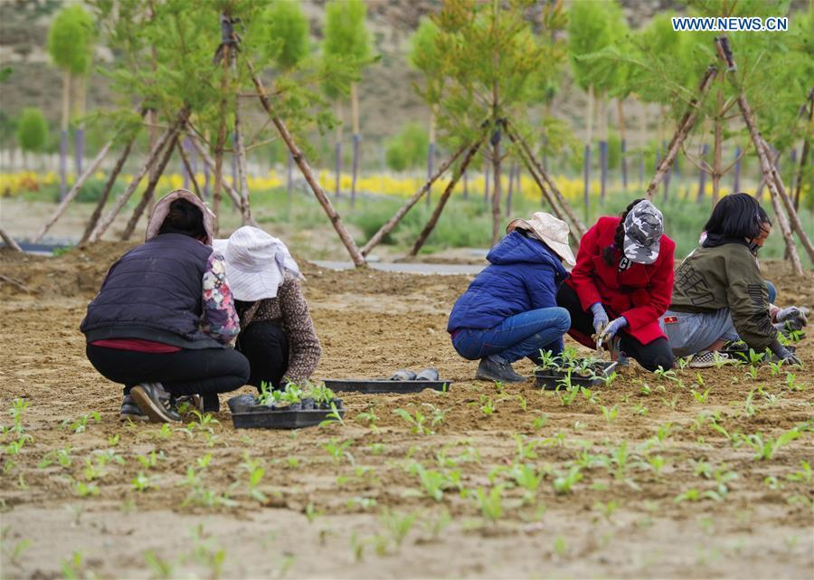 Villagers plant saplings at a nursery base in Zhanang County of Shannan, southwest China\'s Tibet Autonomous Region, July 23, 2018. Over the past four decades, the Shannan people have made achievements in desert control by building a 1.8-kilometer-wide \