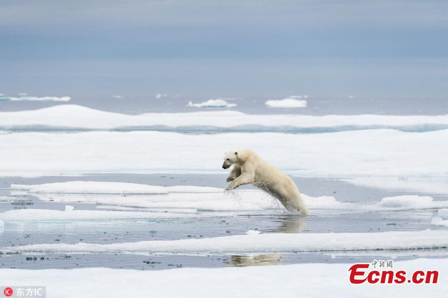 A polar bear crosses thin and breaking pieces of ice which is melting away in the hot summers. (Photo/IC)