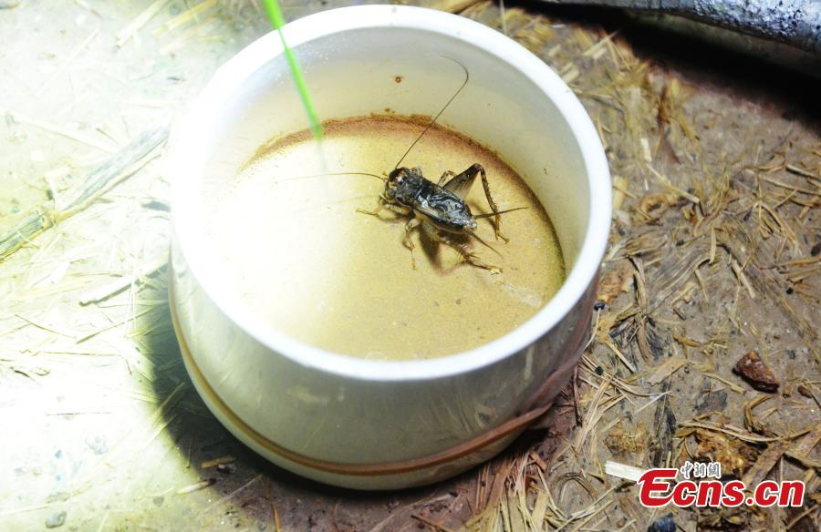 A cricket caught in Sidian Town, Ningyang County, East China's Shandong Province. The town has been famous as a source of crickets for tens of years and it's estimated the insect has generated an annual revenue of 700 million yuan ($102 million). Wang Yingxi, who works in other cities for better-paying jobs, often comes back to his hometown to search for crickets during the season. Zhang Maolong, a 58-year-old cricket dealer, said he bought 90 crickets since July 26 and the most expensive one was 3,600 yuan. Liu Deqiang, director of a local cricket association, claimed over 200,000 dealers visited the town in the season and one cricket fetched a record of 100,000 yuan. (Photo: China News Service/Hao Xuejuan)
