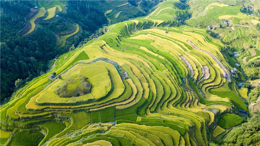 Terraced rice fields transform into greenish golden land in Congjiang county, Southwest China\'s Guizhou Province, Aug. 21, 2018. (Phot/Asianewsphoto)  Entering autumn, the terraced rice fields at the central region of Moon Mountain in Southwest China\'s Guizhou gradually turn golden, indicating a bumper harvest in future.