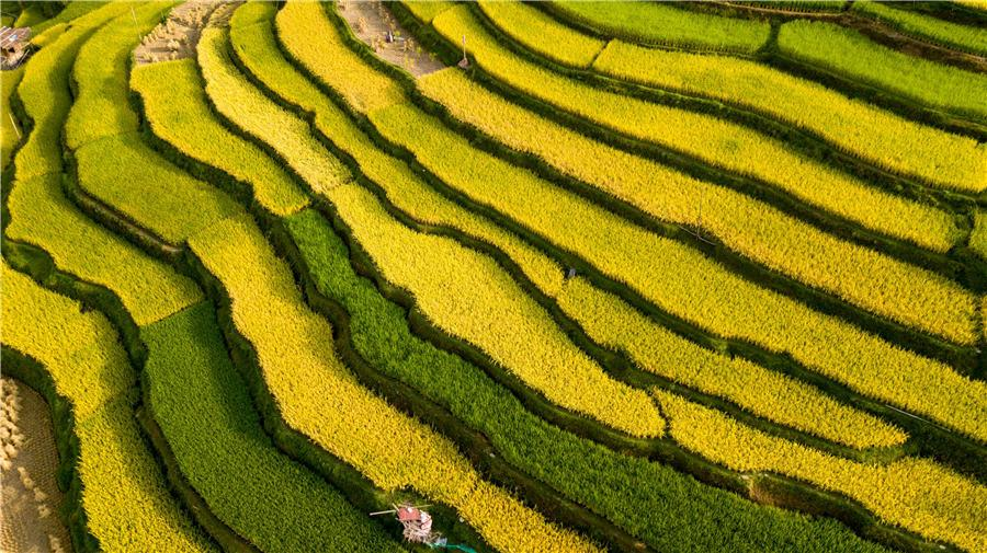 Terraced rice fields transform into greenish golden land in Congjiang county, Southwest China\'s Guizhou Province, Aug. 21, 2018. (Photo/Asianewsphoto)
