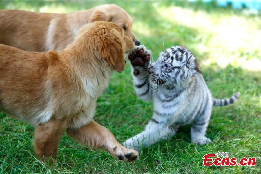 A white tiger cub and a Golden Retriever play at the Beijing Wildlife Park in Beijing, Aug. 23, 2018. A heroic mother Golden Retriever dog has milked eight different cubs abandoned by their mothers - two Spotted Hyenas, two Siberian Tigers, one white tiger, and one African lion. The eight animals have become friends under the care of keepers. (Photo: China News Service/Fu Tian)