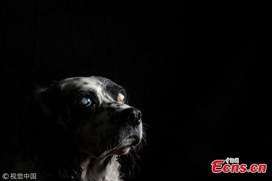 Caprice, a 13-year-old dog, a totally blind Spaniel is pictured at the animal shelter SPA (Societe Protectrice Animaux) Kennel in Gennevilliers, France, Aug. 21, 2018. (Photo/VCG)