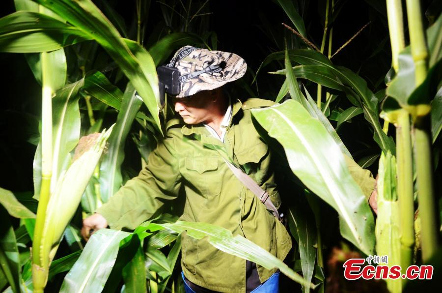 A famer searches for crickets in the field in Sidian Town, Ningyang County, East China's Shandong Province, at around 2:00 am on Aug. 24, 2018. The town has been famous as a source of crickets for tens of years and it's estimated the insect has generated an annual revenue of 700 million yuan ($102 million). Wang Yingxi, who works in other cities for better-paying jobs, often comes back to his hometown to search for crickets during the season. Zhang Maolong, a 58-year-old cricket dealer, said he bought 90 crickets since July 26 and the most expensive one was 3,600 yuan. Liu Deqiang, director of a local cricket association, claimed over 200,000 dealers visited the town in the season and one cricket fetched a record of 100,000 yuan. (Photo: China News Service/Hao Xuejuan)