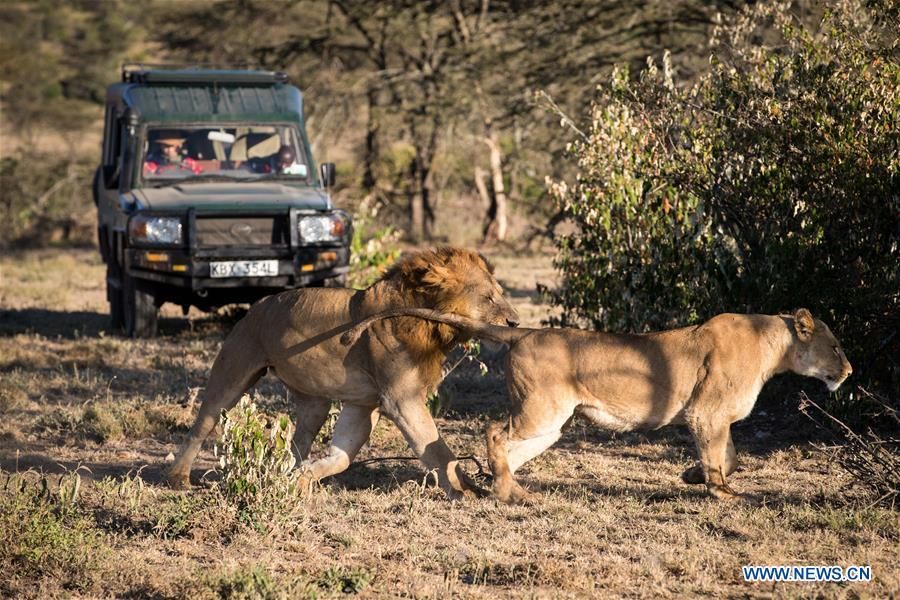 Chinese wildlife conservationist Zhuo Qiang and a local warden check lions at Ol Kinyei conservancy in Maasai Mara, Kenya, July 7, 2018. The founder and Chairman of Mara Conservation Fund (MCF) Zhuo Qiang, a 45-year-old Chinese, has pioneered outstanding wildlife conservation projects in the world famous Maasai Mara ecosystem. Ol Kinyei is among the conservancies benefiting from his activities. Around it, he has built three lion proof boas preventing the wildlife conflict with the adjacent communities. He was officially adopted as a son of the Maasai\'s Ol Kinyei conservation group in 2015, owing to his unwavering friendship with the pastoralists. Zhuo\'s anti-poaching drives in the East African nation expresses the increasing collaboration between Kenyan and China in ending the killing of rhinos, elephants and lions. (Xinhua/Lyu Shuai)