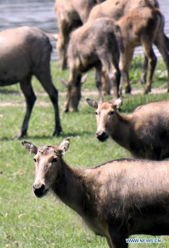 Photo taken on Aug. 23, 2018 shows a herd of Milu deers at the Nanhaizi Milu Park in Daxing District of Beijing, capital of China. Milu, also known as Pere David\'s deer, is a species endemic to China. It was regularly hunted and almost went extinct by the loss of habitat in the early 20th Century. In the 1980s, the species were reintroduced to China from Britain, starting the revival of the population in its homeland. Beijing\'s Daxing District is home to China\'s first Milu nature reserve, the Nanhaizi Milu Park. In the past three decades, the Beijing Milu Ecological Research Center sent 497 Milu deer to nature reserves around China and boosted the population outside its natural habitat to 1,800. (Xinhua/Li Xin)