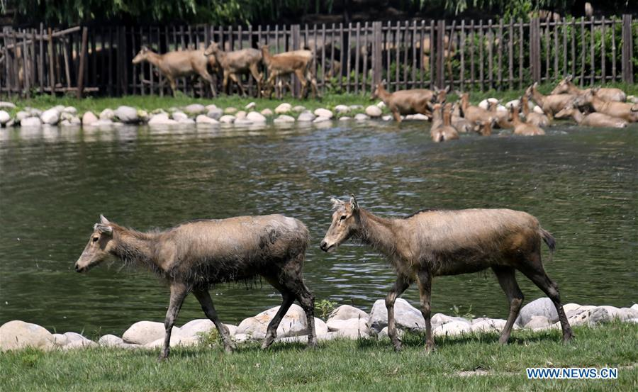 Photo taken on Aug. 23, 2018 shows Milu deers at the Nanhaizi Milu Park in the Daxing District of Beijing, capital of China. Milu, also known as Pere David\'s deer, is a species endemic to China. It was regularly hunted and almost went extinct by the loss of habitat in the early 20th Century. In the 1980s, the species were reintroduced to China from Britain, starting the revival of the population in its homeland. Beijing\'s Daxing District is home to China\'s first Milu nature reserve, the Nanhaizi Milu Park. In the past three decades, the Beijing Milu Ecological Research Center sent 497 Milu deer to nature reserves around China and boosted the population outside its natural habitat to 1,800. (Xinhua/Li Xin)