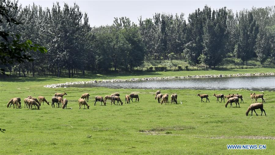 Photo taken on Aug. 23, 2018 shows a herd of Milu deers grazing at the Nanhaizi Milu Park in the Daxing District of Beijing, capital of China. Milu is a species endemic to China. It was regularly hunted and almost went extinct by the loss of habitat in the early 20th Century. In the 1980s, the species were reintroduced to China from Britain, starting the revival of the population in its homeland. Beijing\'s Daxing District is home to China\'s first Milu nature reserve, the Nanhaizi Milu Park. In the past three decades, the Beijing Milu Ecological Research Center sent 497 Milu deer to nature reserves around China and boosted the population outside its natural habitat to 1,800. (Xinhua/Li Xin)