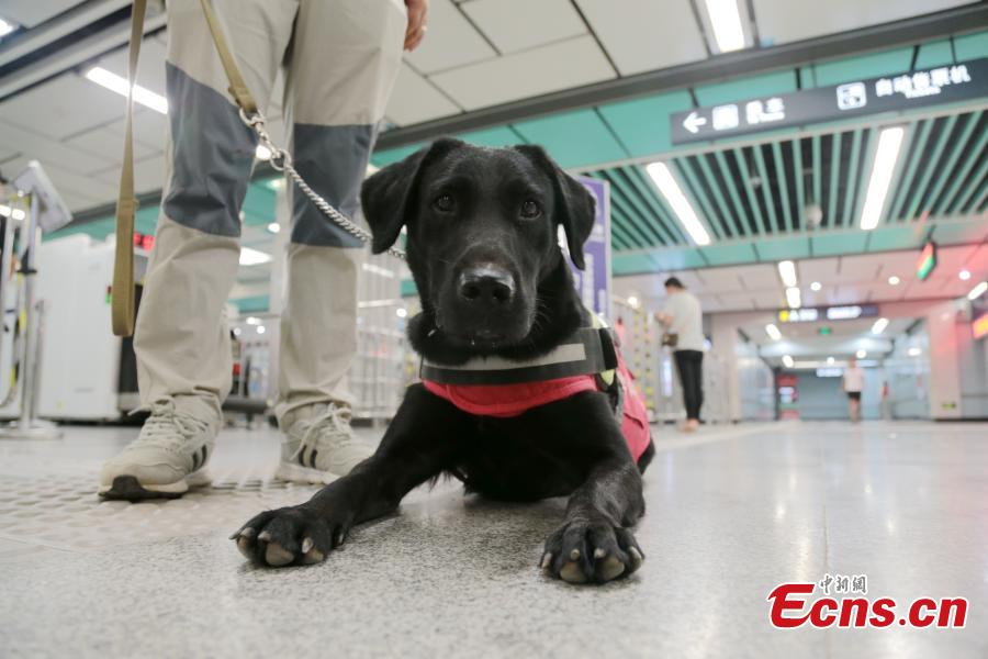 A seeing-eye dog is put through its paces by trainer Li Sai in Xi'an City, Northwest China's Shaanxi Province, Aug. 27, 2018. The Labrador dog will be available to assist the blind and visually impaired for free from October. About 100 people have applied to use the guide dog, the first in the city. The Disabled Aids Center of Shaanxi Province, established in 2016, is the first non-profit organization for breeding and training guide dogs, with five trainers and 26 dogs currently being trained. (Photo: China News Service/Zhang Yuan)