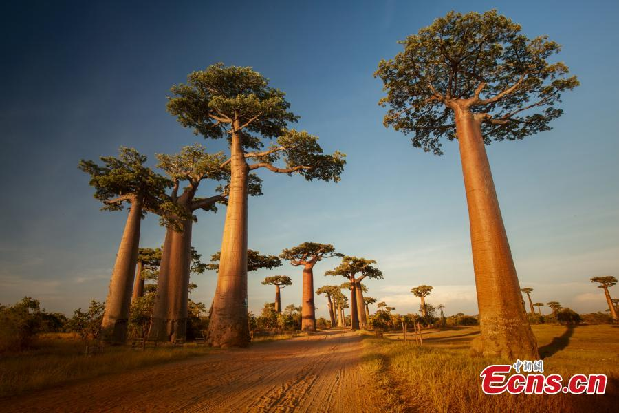 Baobab trees in Madagascar. (Photo provided to China News Service)