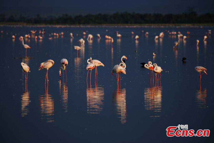 Flamingos gather at Lake Bogoria National Reserve in Kenya. (Photo provided to China News Service)