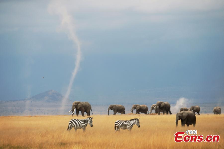 Zebras and elephants wander on the plain as the snow covered peak of Mount Kilimanjaro rises above them in the background, Amboseli National Park, Kenya. (Photo provided to China News Service)