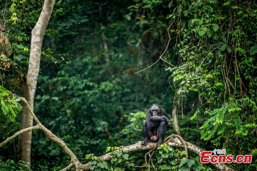 The bonobo, also known as the pygmy chimpanzee, is a rare species threatened with extinction by deforestation and human proximity, and only live in a small area in the primary forest on the Congo river. (Photo provided to China News Service)