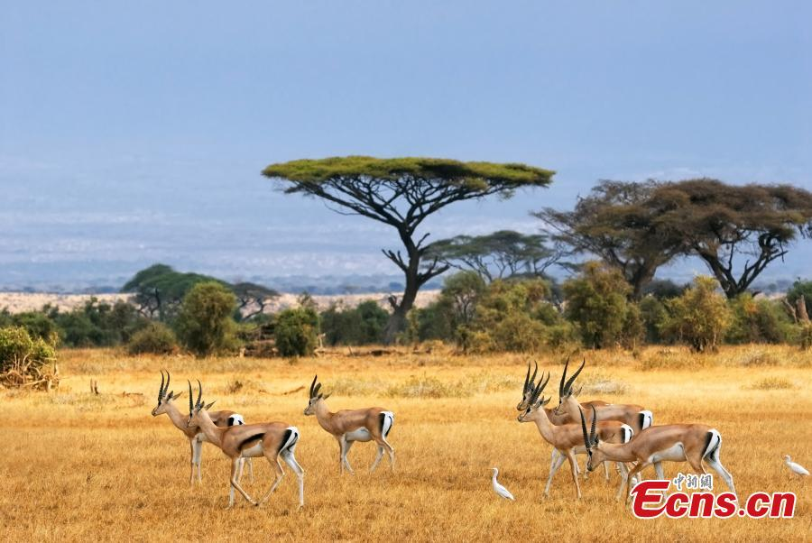 Grant\'s Gazelles in Amboseli National Park, Kenya. (Photo provided to China News Service)