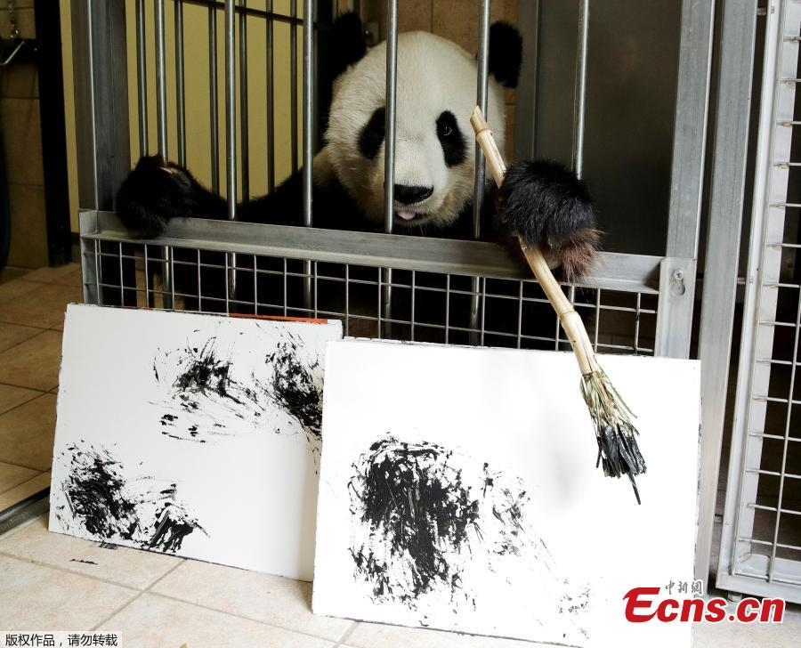 Giant Panda Yang Yang holds a brush behind pictures it painted at Schoenbrunn Zoo in Vienna, Austria, August 10, 2018. One hundred of her works will be sold online for 490 euros each, to fund a picture book about the Vienna zoo\'s pandas.(Photo/Agencies)