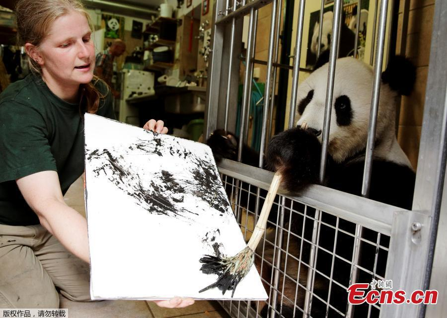Giant Panda Yang Yang uses finger paint and a brush to create a picture at Schoenbrunn Zoo in Vienna, Austria, August 10, 2018. One hundred of her works will be sold online for 490 euros each, to fund a picture book about the Vienna zoo\'s pandas.(Photo/Agencies)