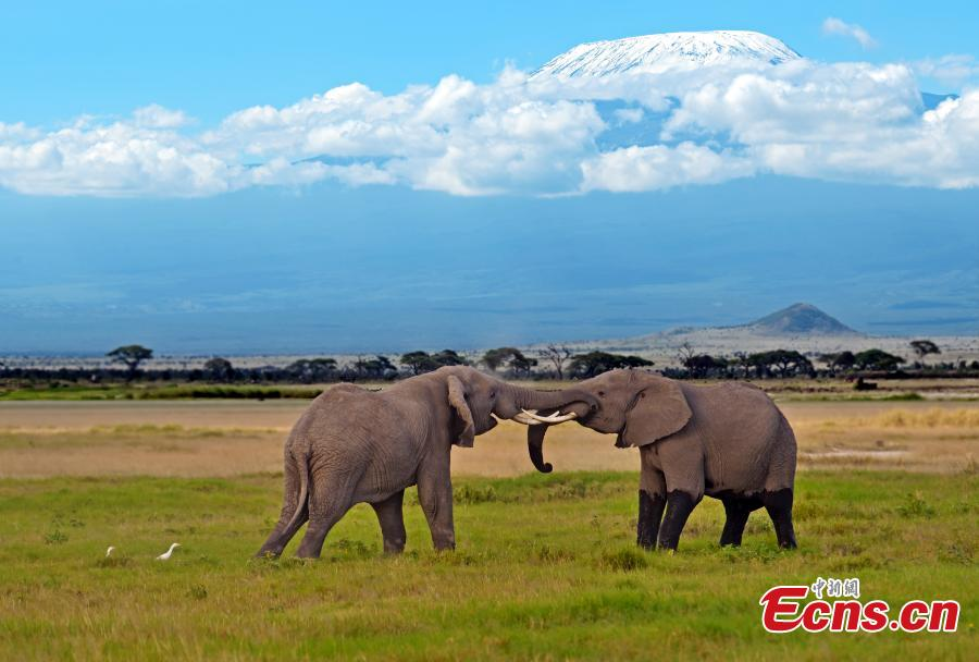 Elephants wander on the plain as the snow covered peak of Mount Kilimanjaro rises above them in the background, Amboseli National Park, Kenya. (Photo provided to China News Service)