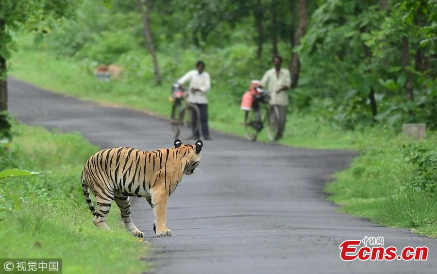 A Bengal tiger wanders on a road as two villagers walk with their bikes at the Umred Karhandla Wildlife Sanctuary in India. (Photo/VCG)