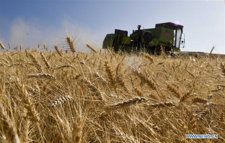 A combine-harvester collects wheat in a field in an agricultural park in Kazak Autonomous County of Mori, northwest China\'s Xinjiang Uygur Autonomous Region, Aug. 26, 2018. (Xinhua/Zhao Ge)