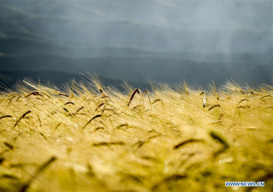 Photo taken on Aug. 26, 2018 shows mature wheat growing in a field in an agricultural park in Kazak Autonomous County of Mori, northwest China\'s Xinjiang Uygur Autonomous Region. (Xinhua/Zhao Ge)
