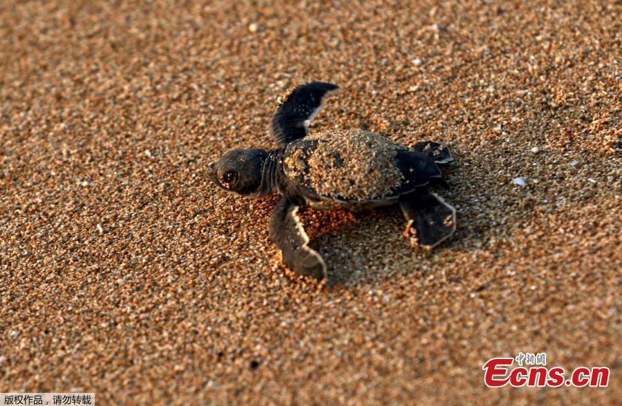 A baby sea turtle is released by Mona Khalil from the Orange House, to crawl into the sea at a seashore in El-Mansouri village, near the southern city of Tyre, Lebanon, July 29, 2018. Mona Khalil, 77, founded The Orange House Project in 2000 to protect sea turtles on the south Lebanon beach in el Mansouri from predators, pollution and encroaching humans. (Photo/Agencies)