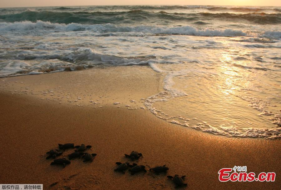 Baby sea turtles are released by Mona Khalil from the Orange House, to crawl into the sea at a seashore in El-Mansouri village, near the southern city of Tyre, Lebanon, July 29, 2018. Mona Khalil, 77, founded The Orange House Project in 2000 to protect sea turtles on the south Lebanon beach in el Mansouri from predators, pollution and encroaching humans. (Photo/Agencies)