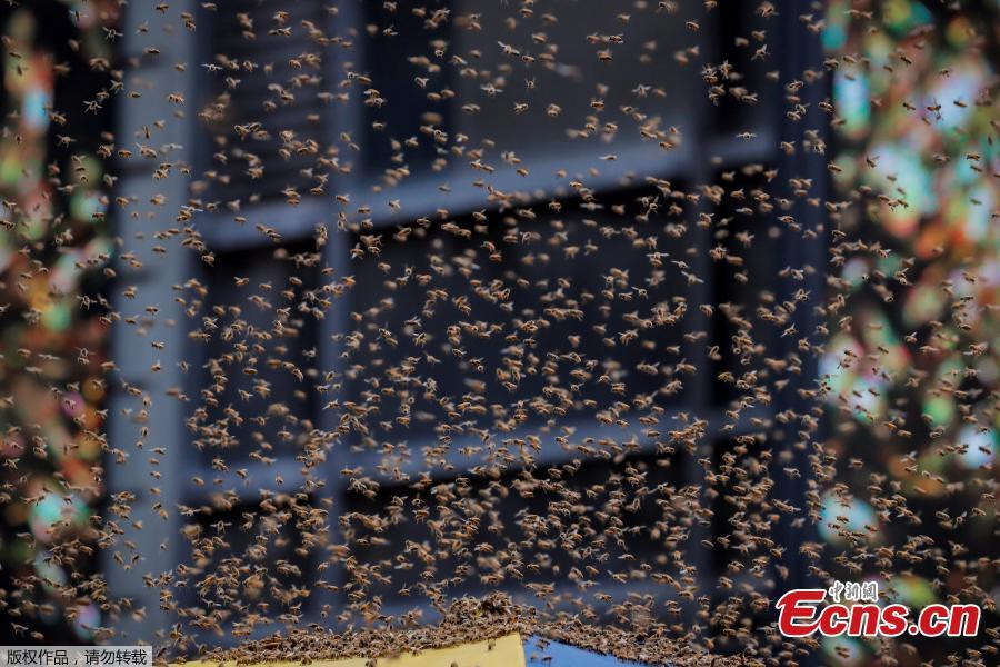 A swarm of bees land on a hot dog cart in Times Square in New York City, U.S., Aug. 28, 2018. The New York Police Department\'s bee keepers unit responded to the scene and safely removed the bees without incident. (Photo/Agencies)