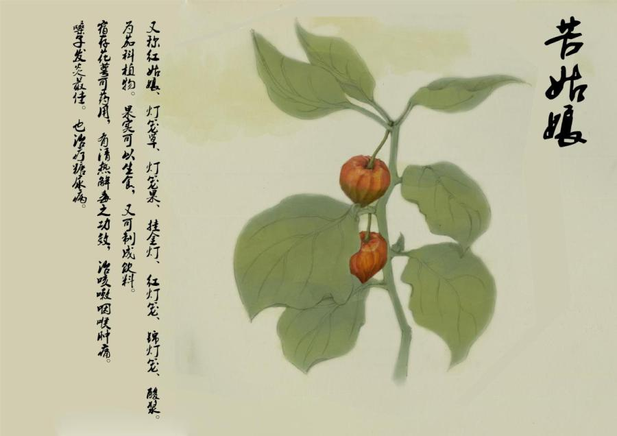 This drawing depicts physalis alkekengi, a popular ornamental plant. (Photo provided to chinadaily.com.cn)