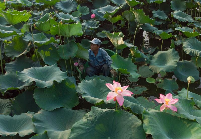 Maintenance worker Chen Laidi, a Hangzhou native, gathers lotus leaves and heads at West Lake. (Photo/China Daily)  Locals line up to make prized purchases at \'secret site\' in Hangzhou  It was 7:25 on a Friday morning, too early for the crowds of tourists who flock daily to the banks, bridges and pagodas of West Lake in Hangzhou.  But as the summer heat rose at the UNESCO World Heritage site in the Zhejiang provincial capital, a fully laden sampan appeared on the motionless water, bobbing toward the lake\'s northern bank.  A rush of excitement passed through a small group waiting there-mostly middle-aged or elderly locals-as they formed an orderly line and unfolded their bags.  At the stroke of 7:30, the first in the line, a short, curly-haired woman in her 50s, rushed to the edge of the lake and showed her ticket.  It gave her permission to buy what she came for, 15 lotus leaves and four lotus heads, at a total cost of 20 yuan ($3).  \