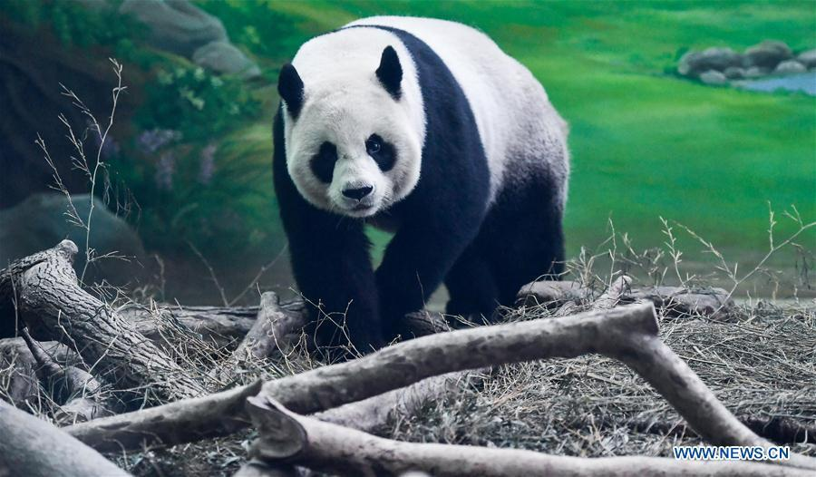 <?php echo strip_tags(addslashes(Photo taken on Aug. 30, 2018 shows giant panda Yuan Yuan at Taipei Zoo in Taipei, southeast China's Taiwan, Aug. 30, 2018. Born two days later than Yuan Yuan in 2004, giant panda Tuan Tuan also celebrated its 14th birthday together with Yuan Yuan on Thursday. Yuan Yuan and Tuan Tuan were given as a goodwill gift to Taiwan by the Chinese mainland. (Xinhua/Xue Yubin))) ?>