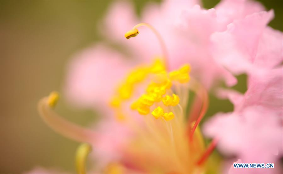 Photo taken on Aug. 22, 2018 shows a flower at the Nanhu Park in Tongling, east China\'s Anhui Province. (Xinhua/Hong Wei)