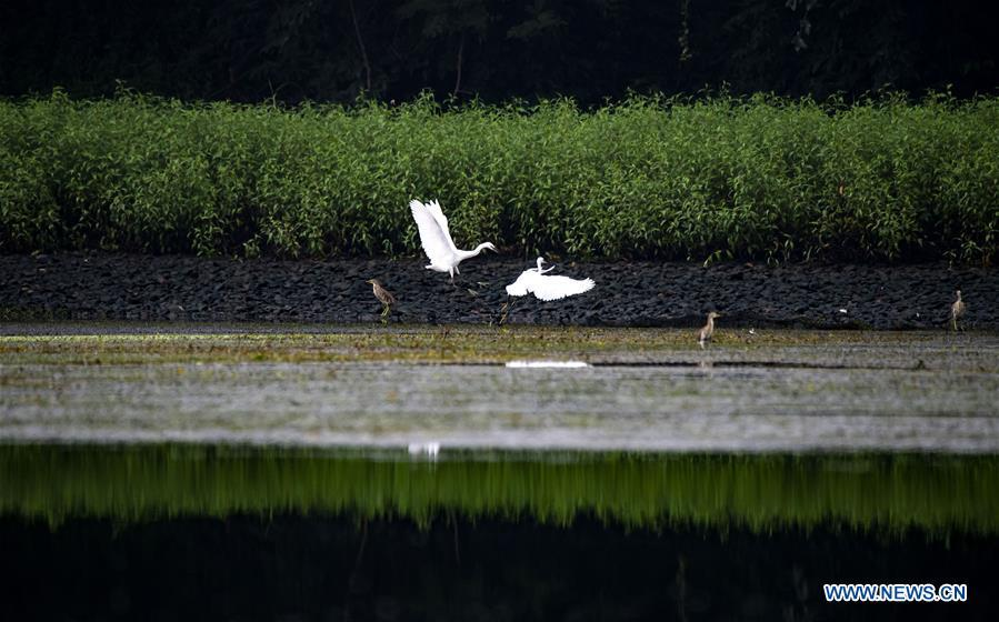 <?php echo strip_tags(addslashes(Egrets fly over a creek in Hexia Town of Xiannuhu District in Xinyu City, east China's Jiangxi Province, Aug. 28, 2018. (Xinhua/Zhao Chunliang))) ?>