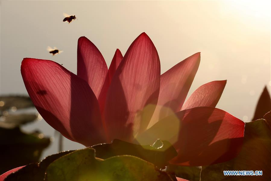 Bees fly around a lotus flower at the Rongcheng wetland park in Rongcheng, east China\'s Shandong Province, Aug. 25, 2018. (Xinhua/Lin Haizhen)