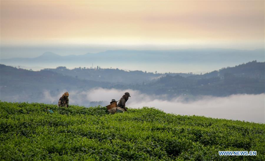 Farmers pick tea leaves at a tea plantation in Gisakura, southwestern Rwanda, Oct. 19, 2017. (Xinhua/Lyu Tianran)