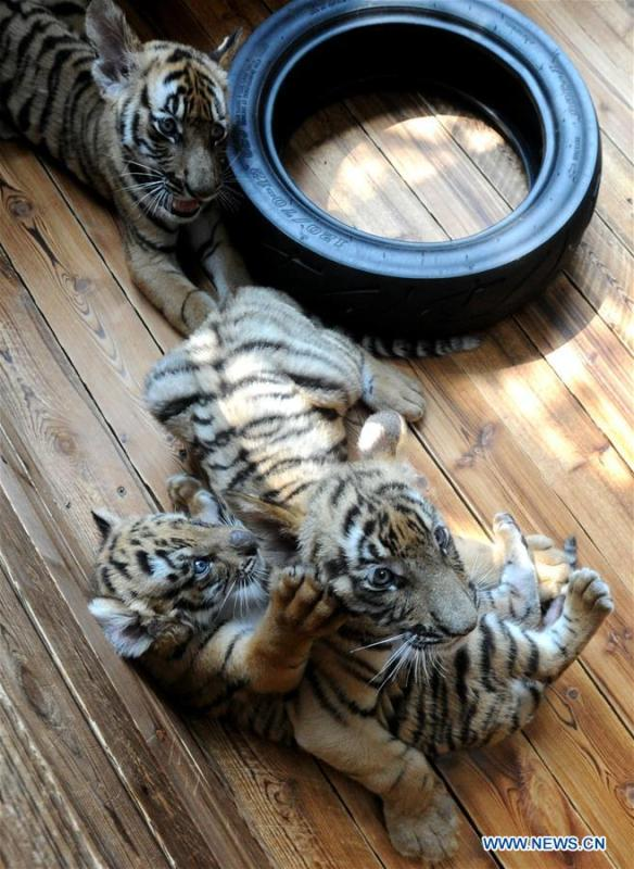 Three South China Tiger cubs play at the South China Tiger Breeding Base in Suzhou, east China\'s Jiangsu Province, Sept. 2, 2018. Two cubs were born on June 22 and one was born on July 18 this year. Three cubs appear to be in good health. (Xinhua/Hang Xingwei)