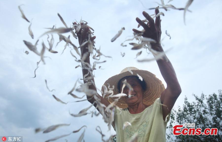 Fish are air dried near Poyang Lake in Yongxiu County, East China's Jiangxi Province, Sept. 3, 2018. The lake is rich of freshwater fish that sell well in the market. (Photo/IC)